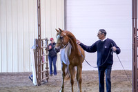 111 - Arabian Gelding In Hand 2 & over AATH