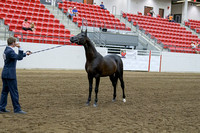 397 - Arabian Stallion Breeding 2yr old colt