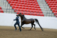 395 - Arabian Stallion Breeding 2&over
