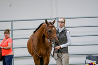 218 - Arabian Sport Horse Mares Hunter Type