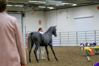 217 - Arabian Sport Horse Stallions Hunter Type
