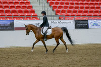 224 - Arabian Sport Horse Under Saddle Dressage Type