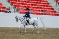 245-Arabian Sport Horse Hunter Type Under Saddle